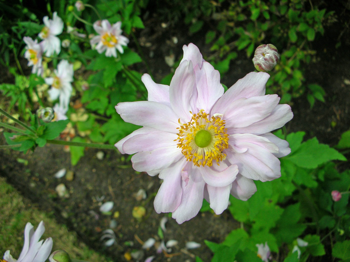 "Anemone japonica ""Queen Charlotte'"